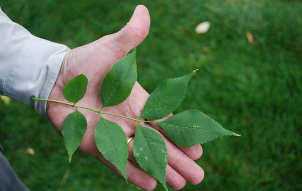 Ash trees can fight off deadly borer beetle
